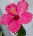 min nyutslagna hibiskus