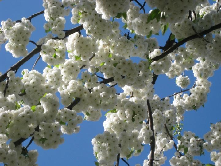 Blomsterhimmel